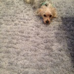 Boca Raton-Dog-carpet-clean